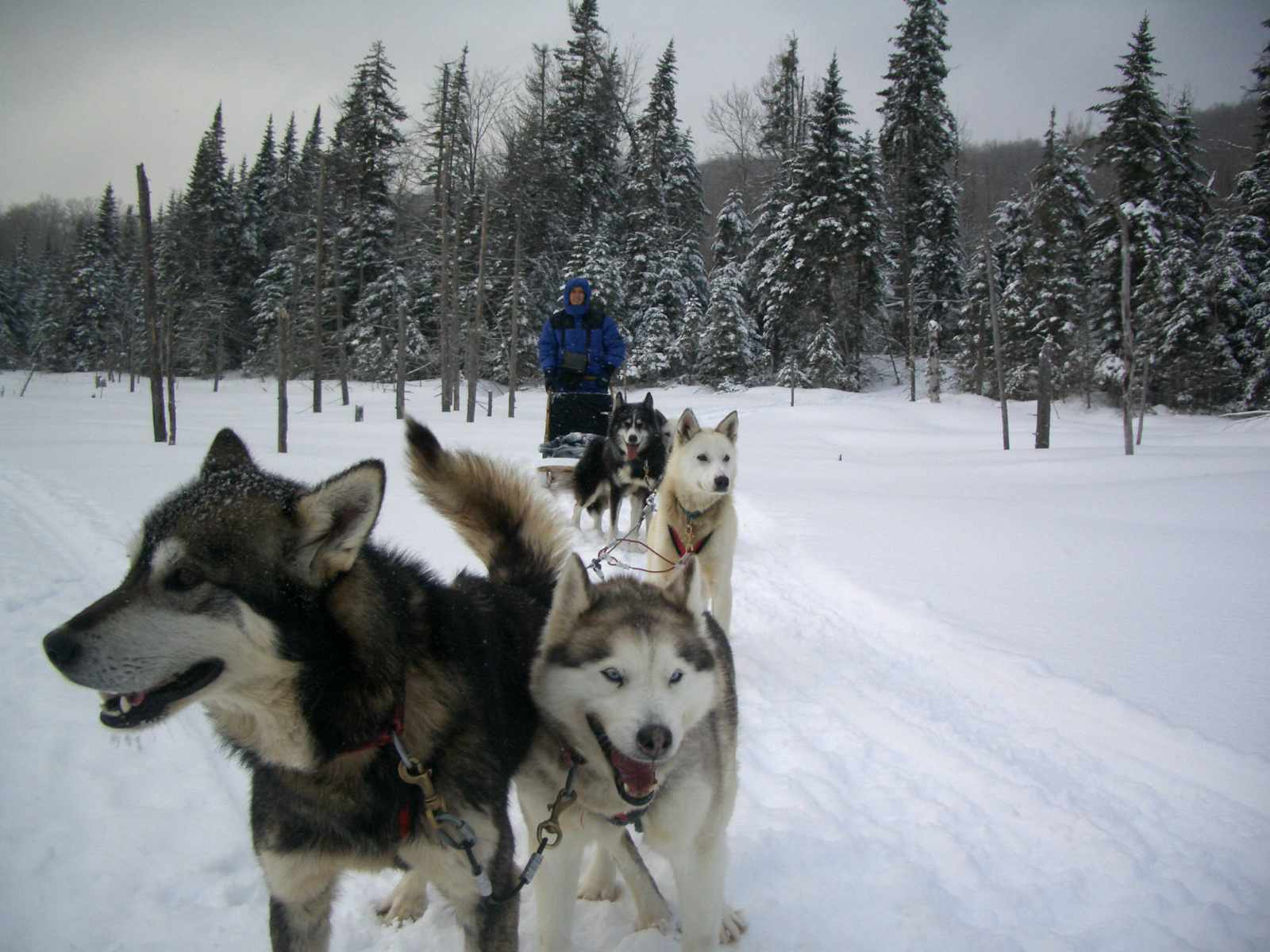 pack of Canadian Inuit dogs on sled in snow pulling man in snow gear
