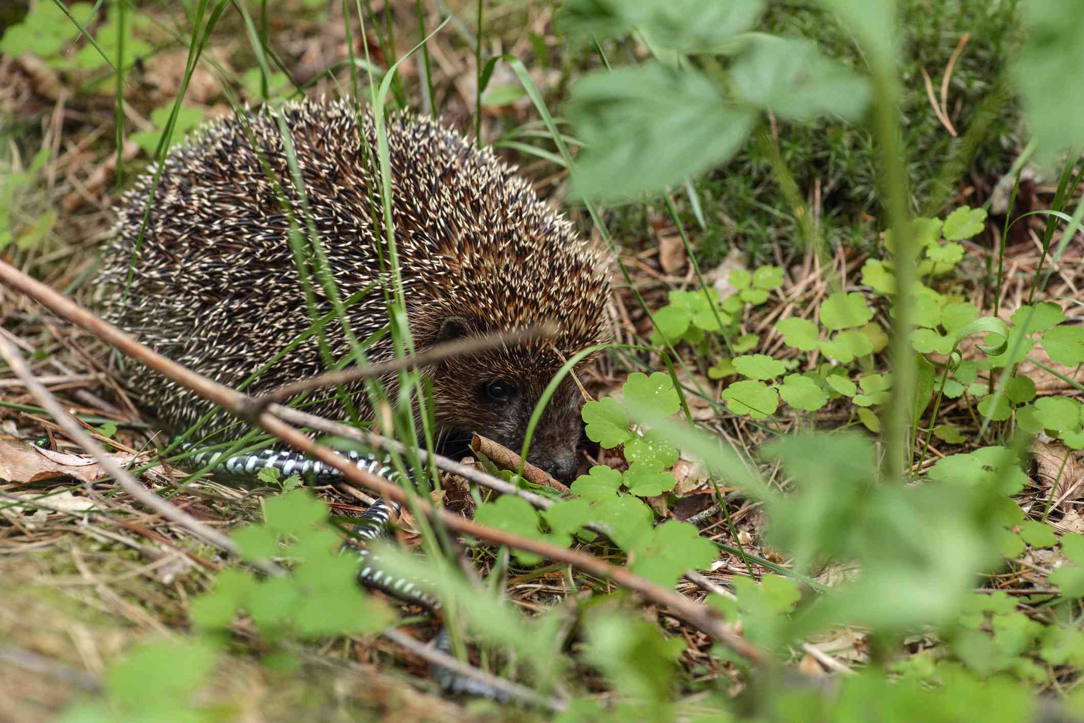 Brown hedgehog with a small black and yellow striped snake surrounded by green plants and ground cover