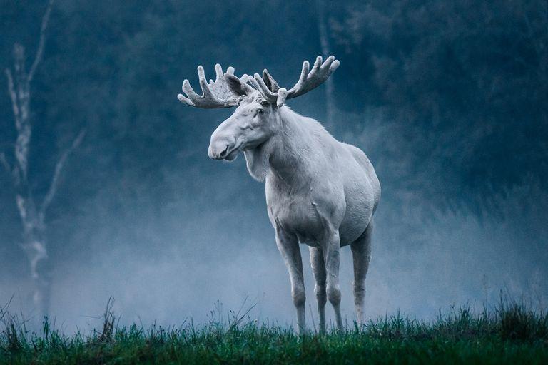 El famoso alce blanco de Suecia en toda su gloria mística