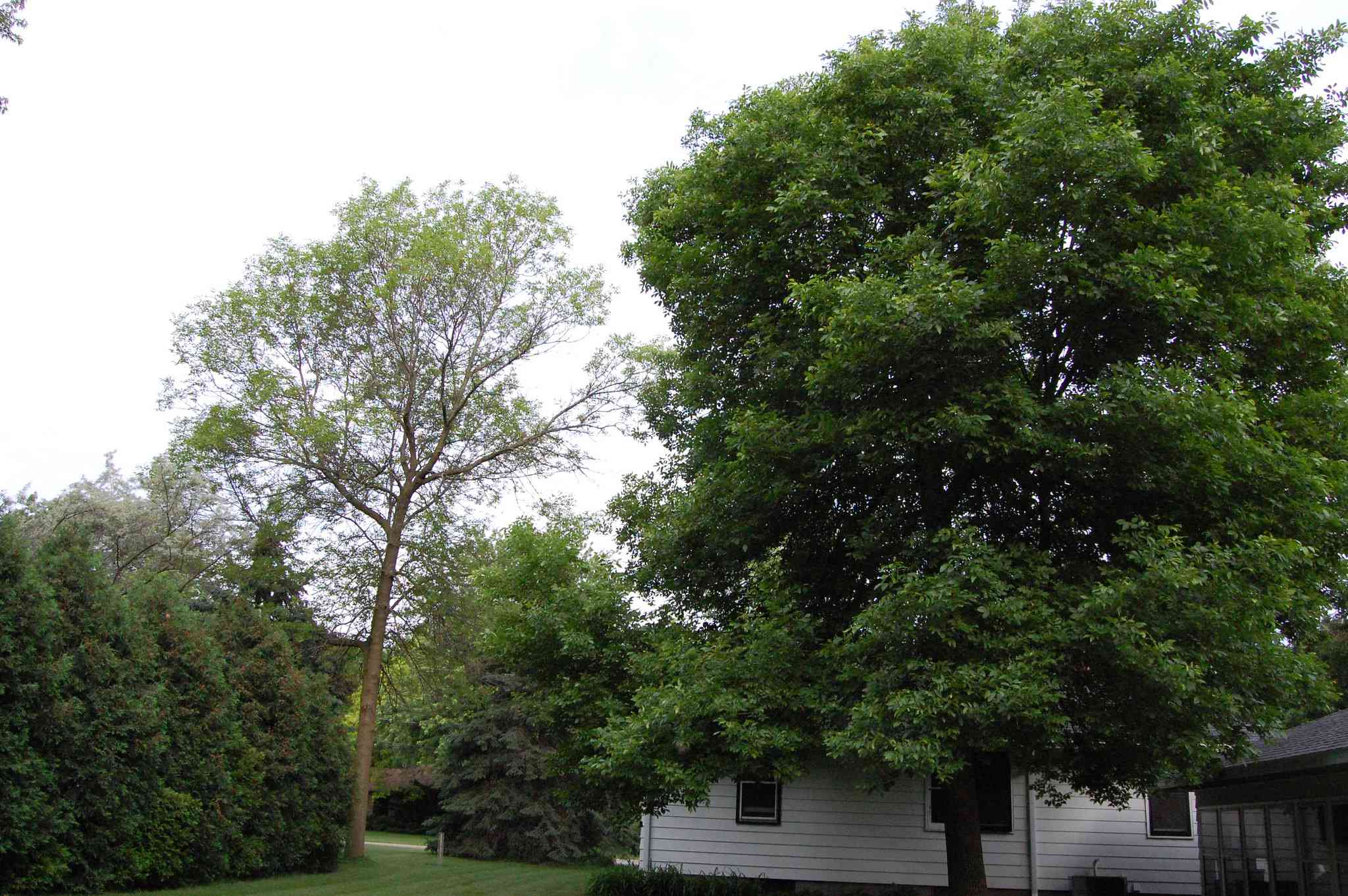 A green ash tree growing by a house in the country.