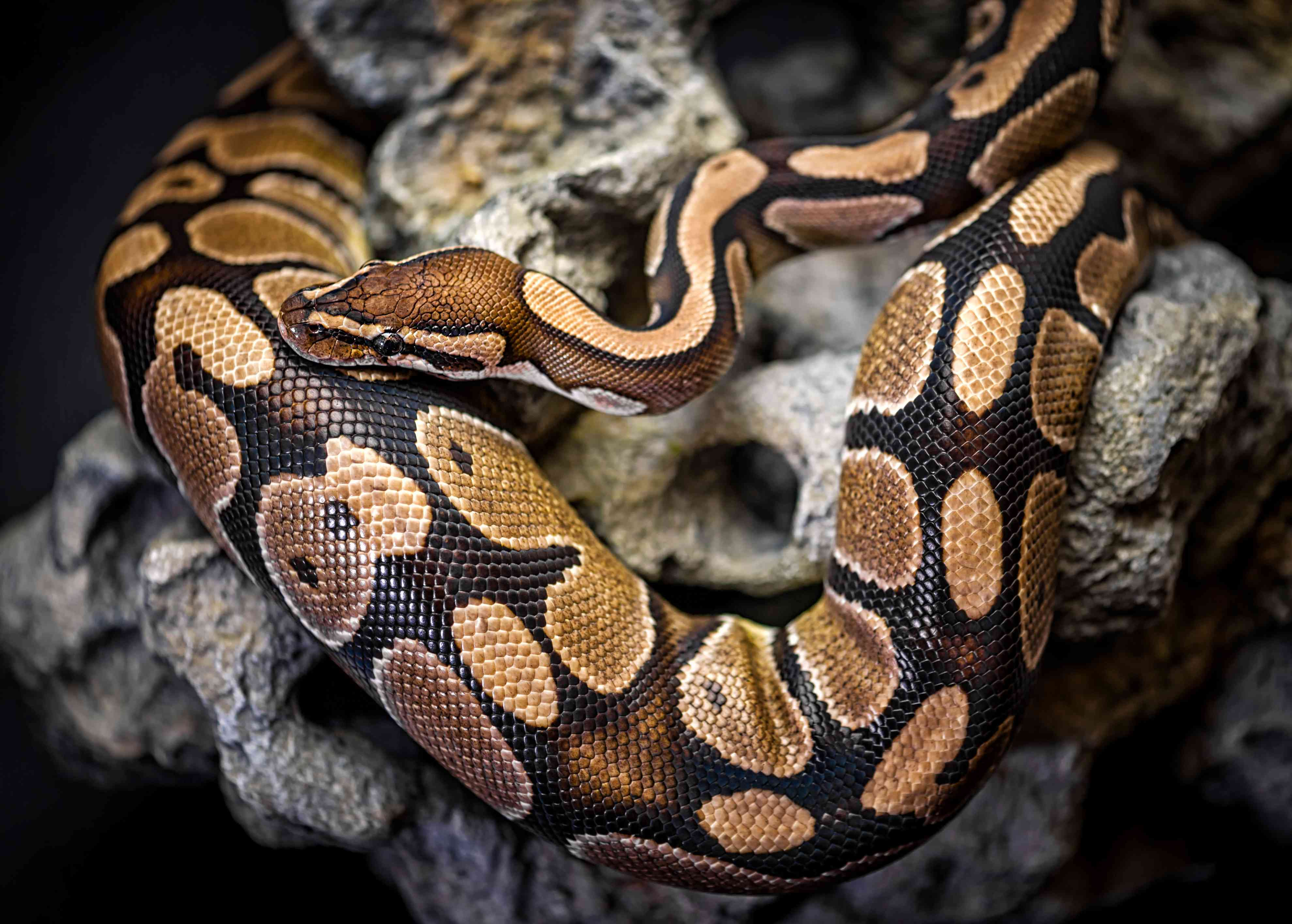 A python with brown and tan markings