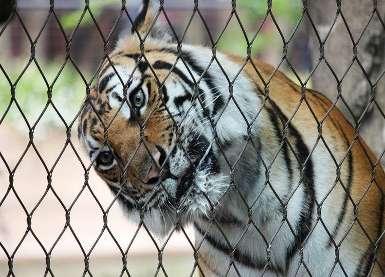 A tiger tilting its head behind a cage.