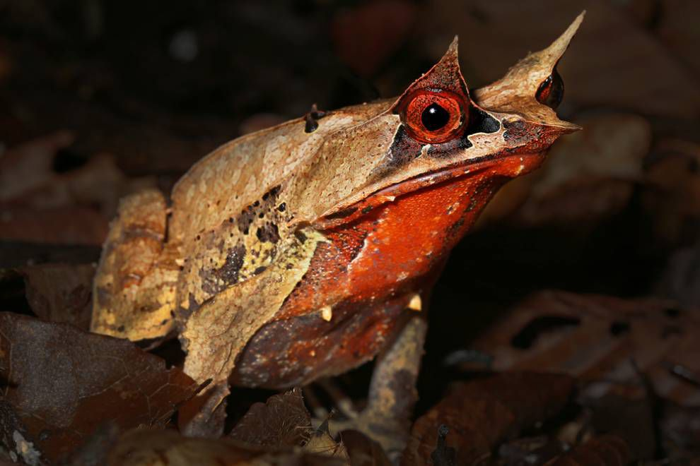A Malayan horned frog with intense red eyes and horns above them