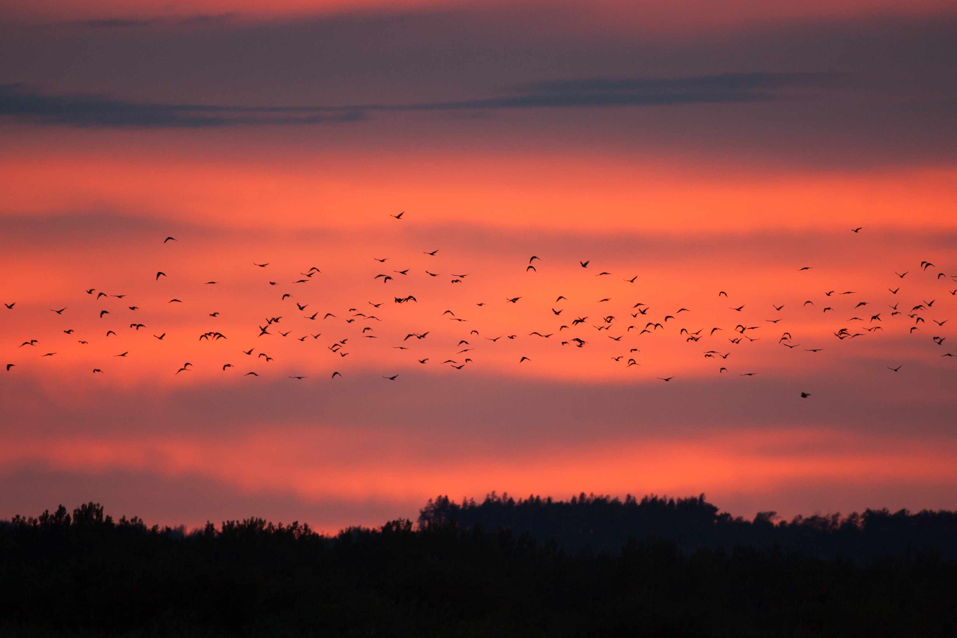 flock of American crows flying to roost