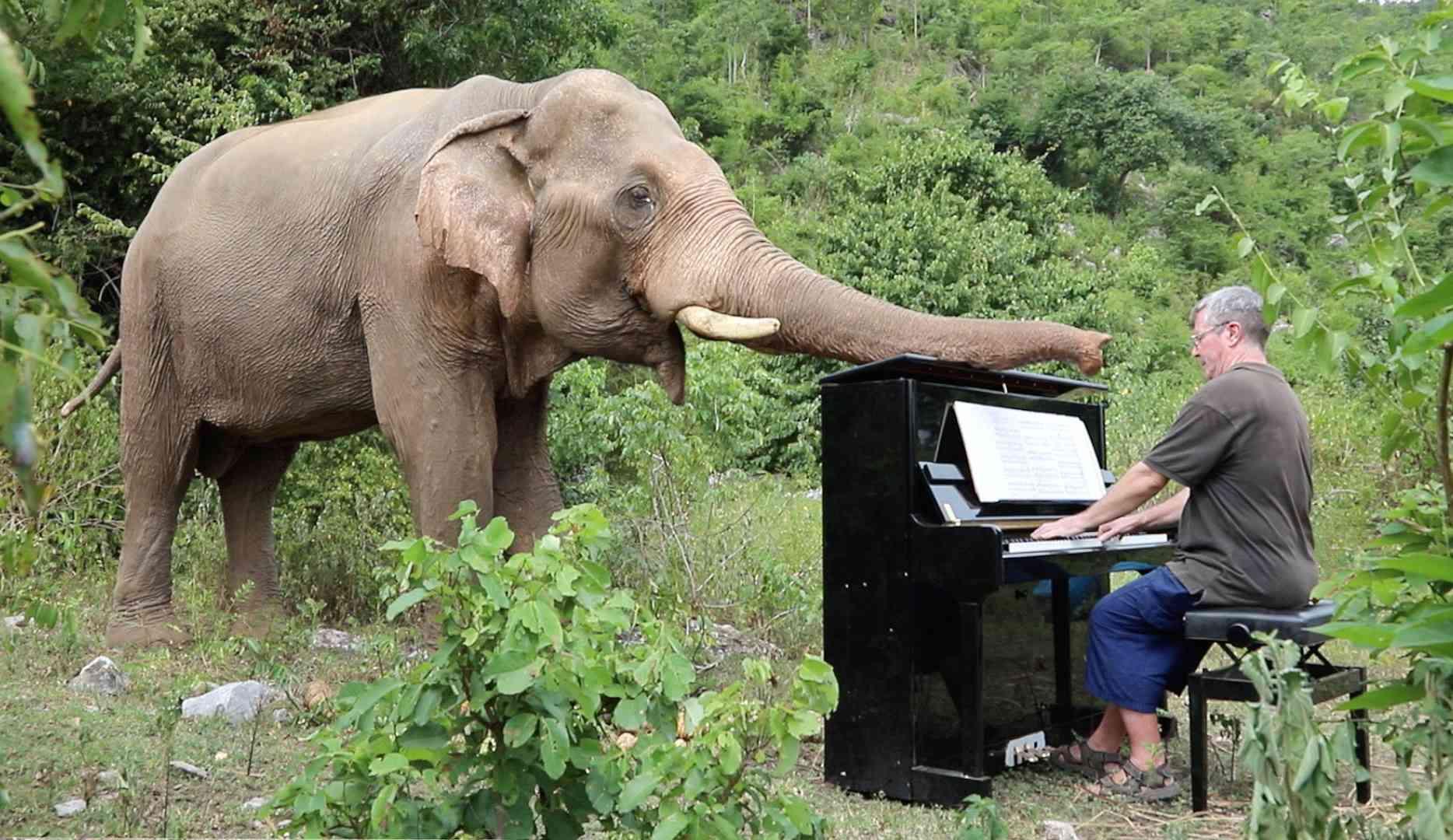 Paul Barton plays piano for bull elephant, Chaichana.