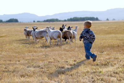 little kid runs after flock of sheep in wide open pasture with hills in background
