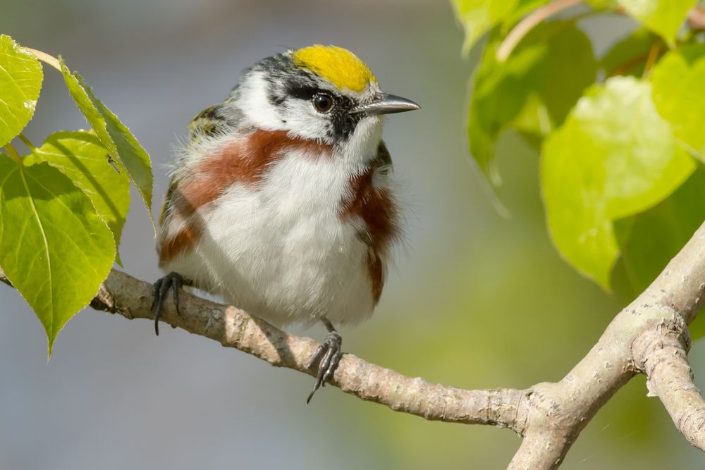 You can identify this bird species by its welcoming call.