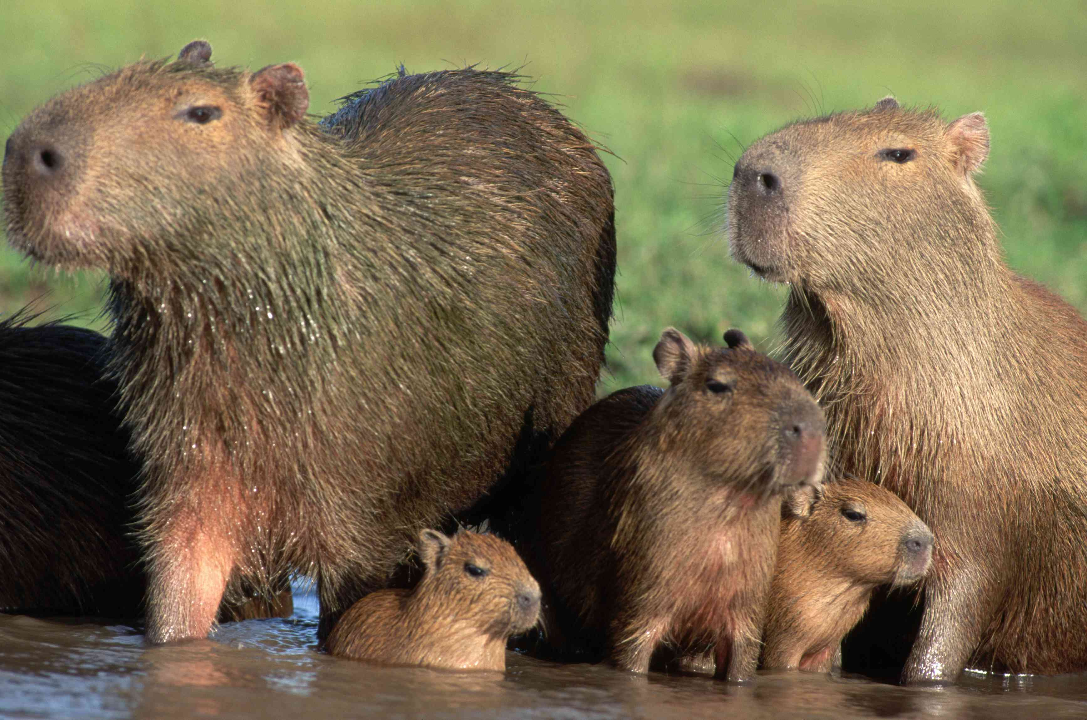 A group of capybaras with two adults, two babies, and one young capybara