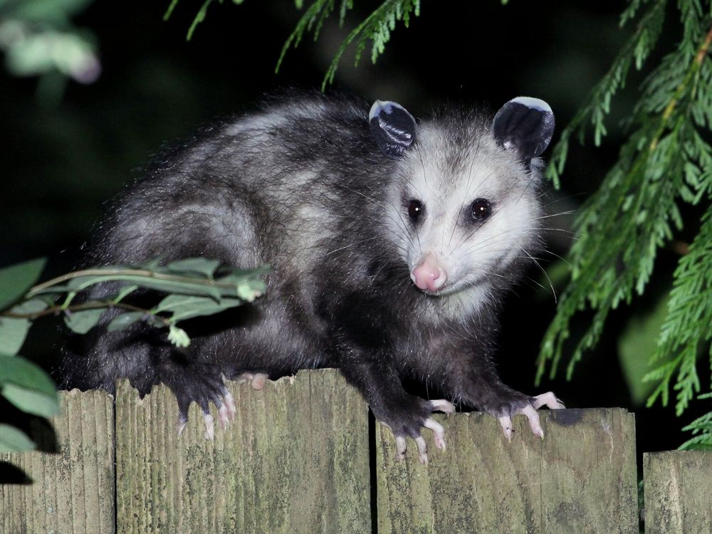 opossum walking along fence at night.