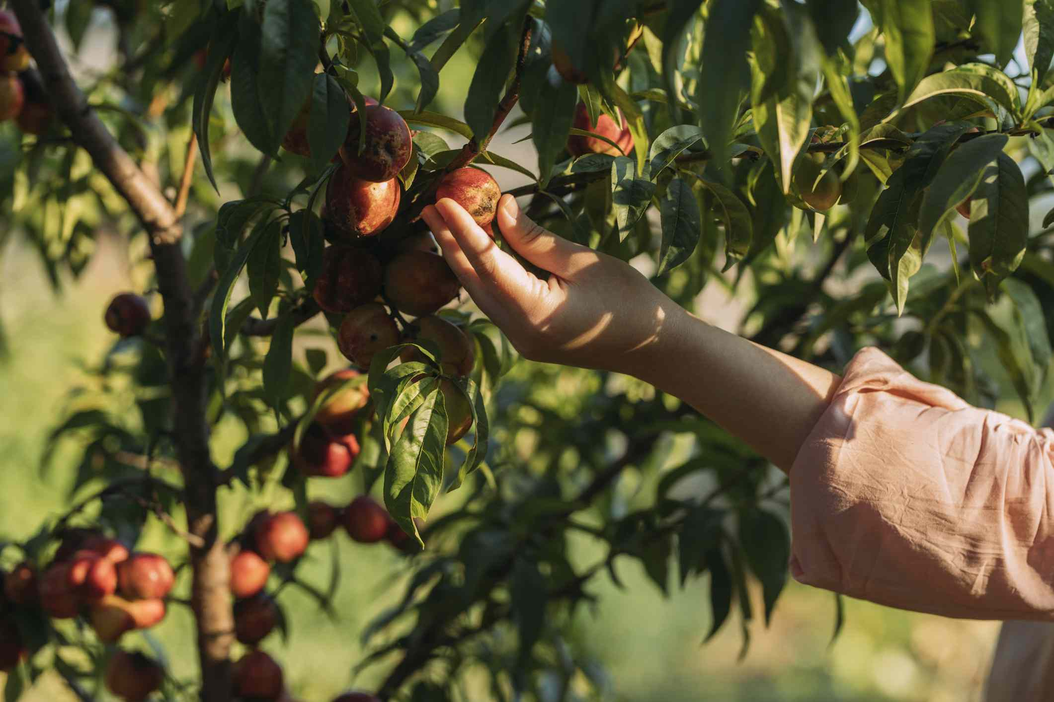 A woman picking organic peaches from a tree.