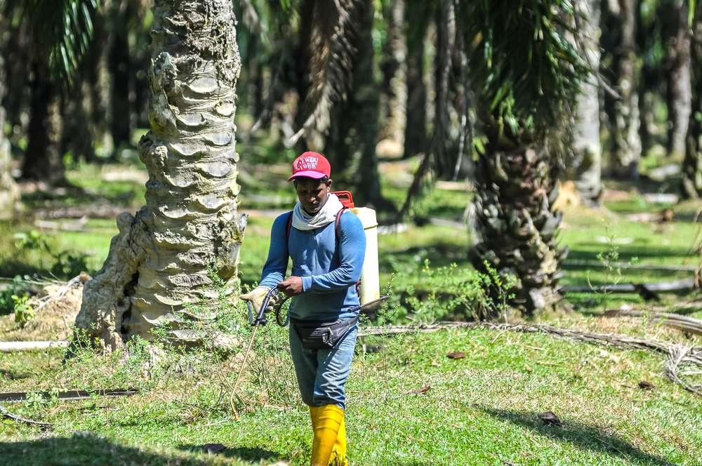 palm oil worker, pesticides