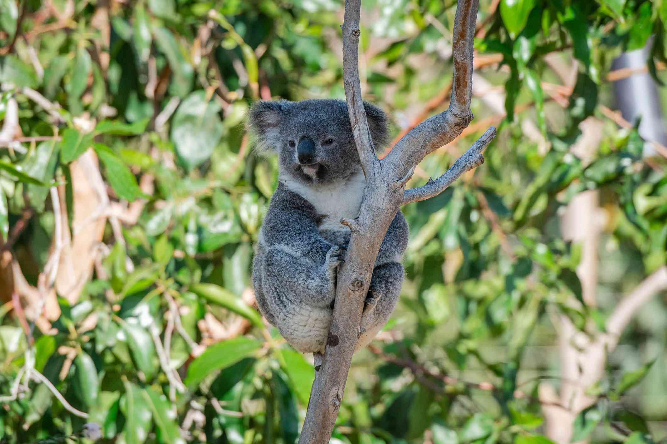 A gray koala holding onto the side of a tree