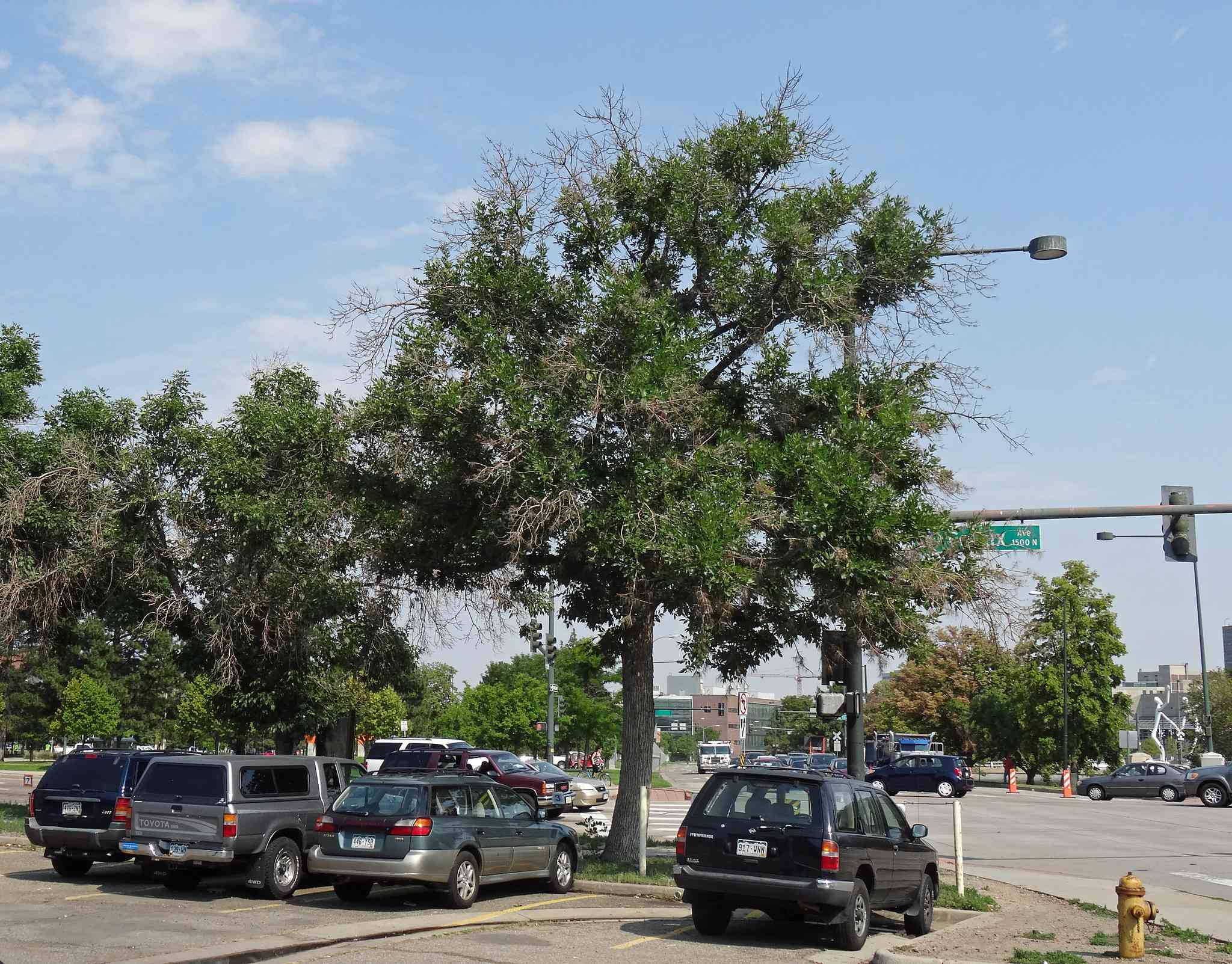 A Green Ash tree in a parking lot.