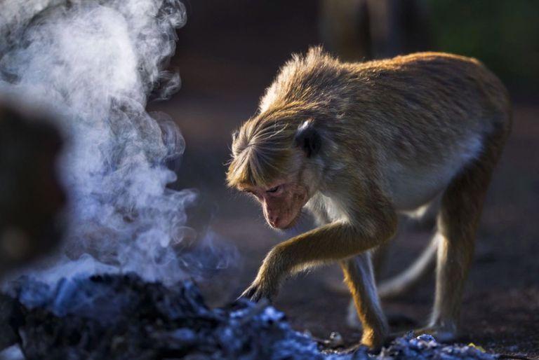 Más árboles en Sri Lanka ayudarán a los macacos asediados