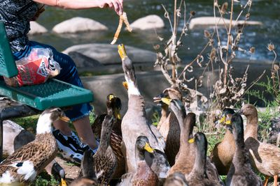 woman feeds white bread to gang of ducks
