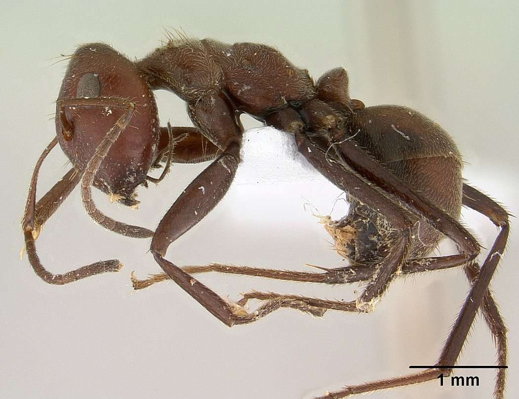 The Malaysian exploding ant does exactly what its name implies.