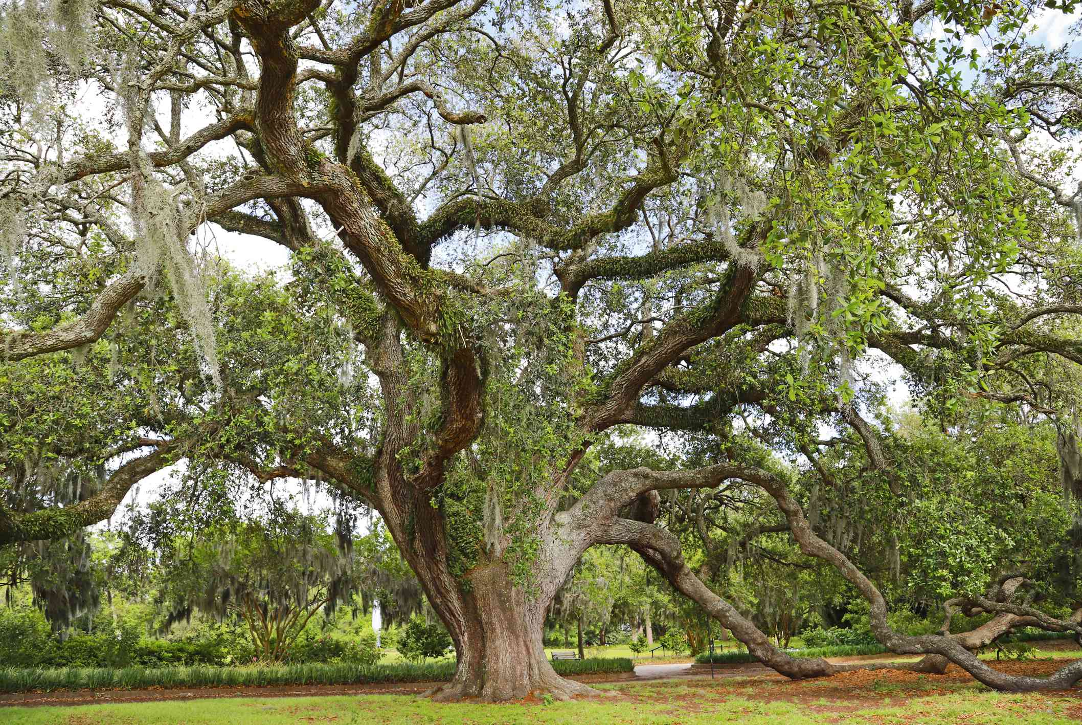 A large Live Oak tree in a park.