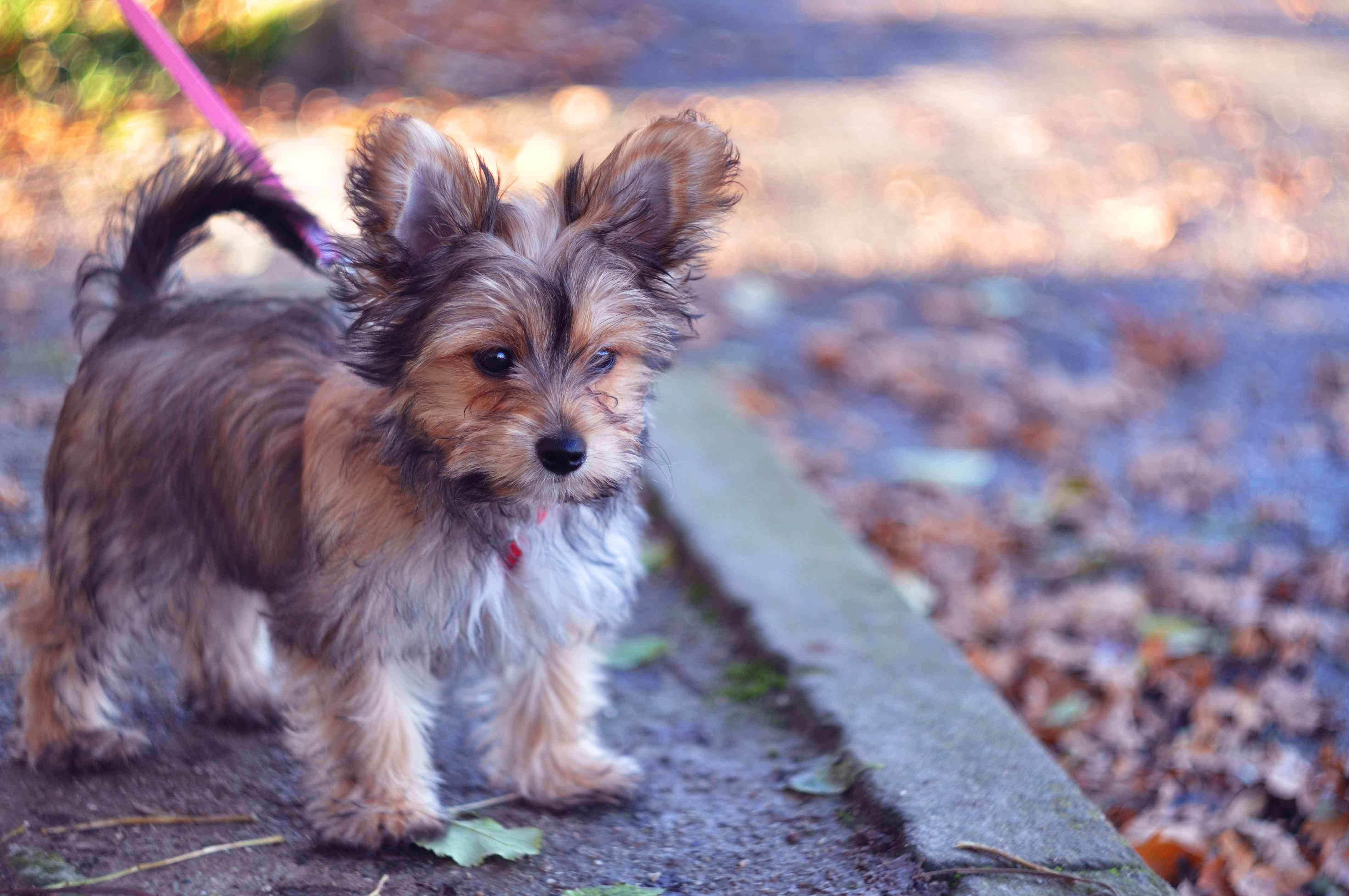 Chorkie walking on a leash