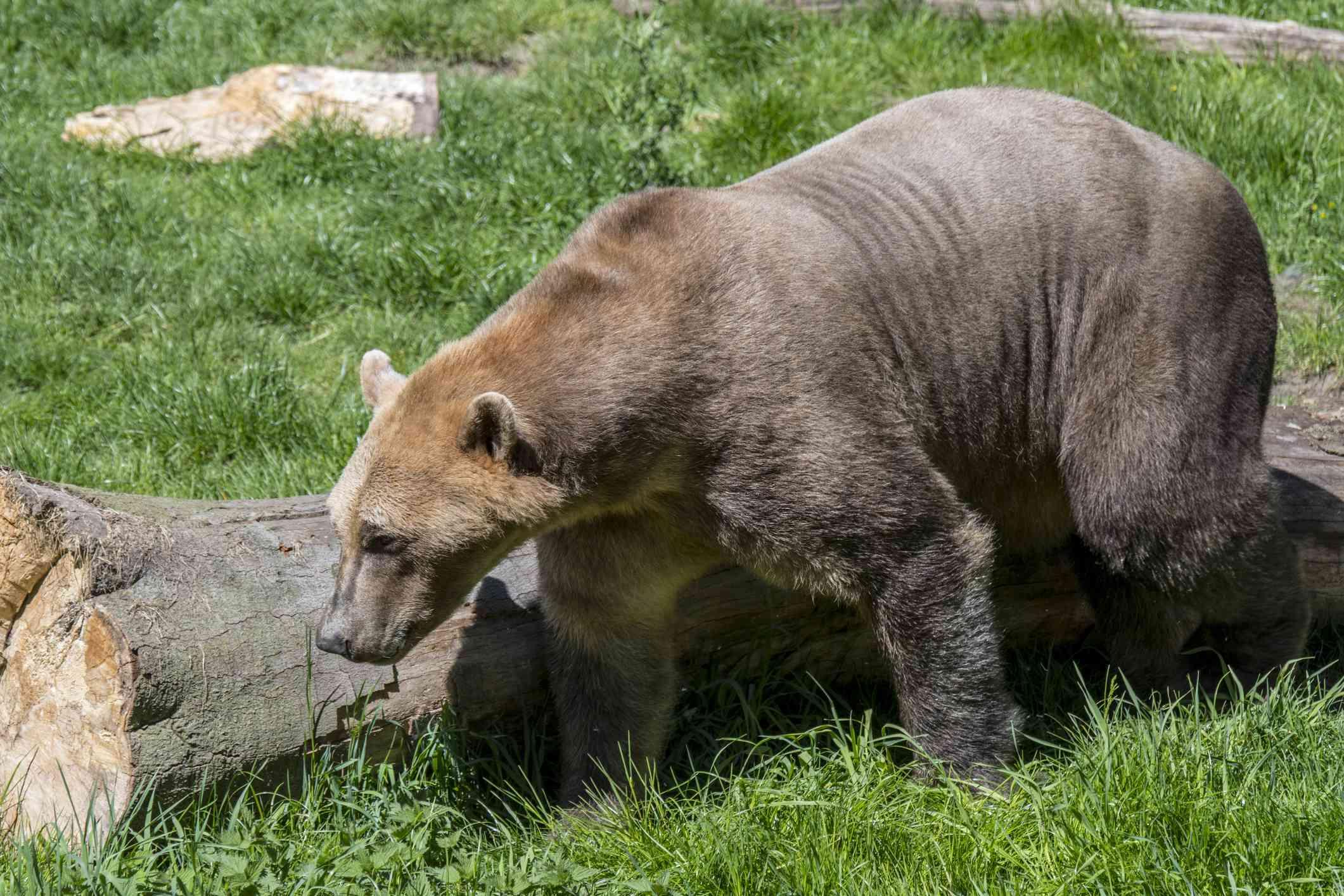 tan and white grolar bear hybrid walks in sun next to log