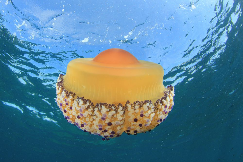 yellow and orange fried egg jellyfish floating in the ocean