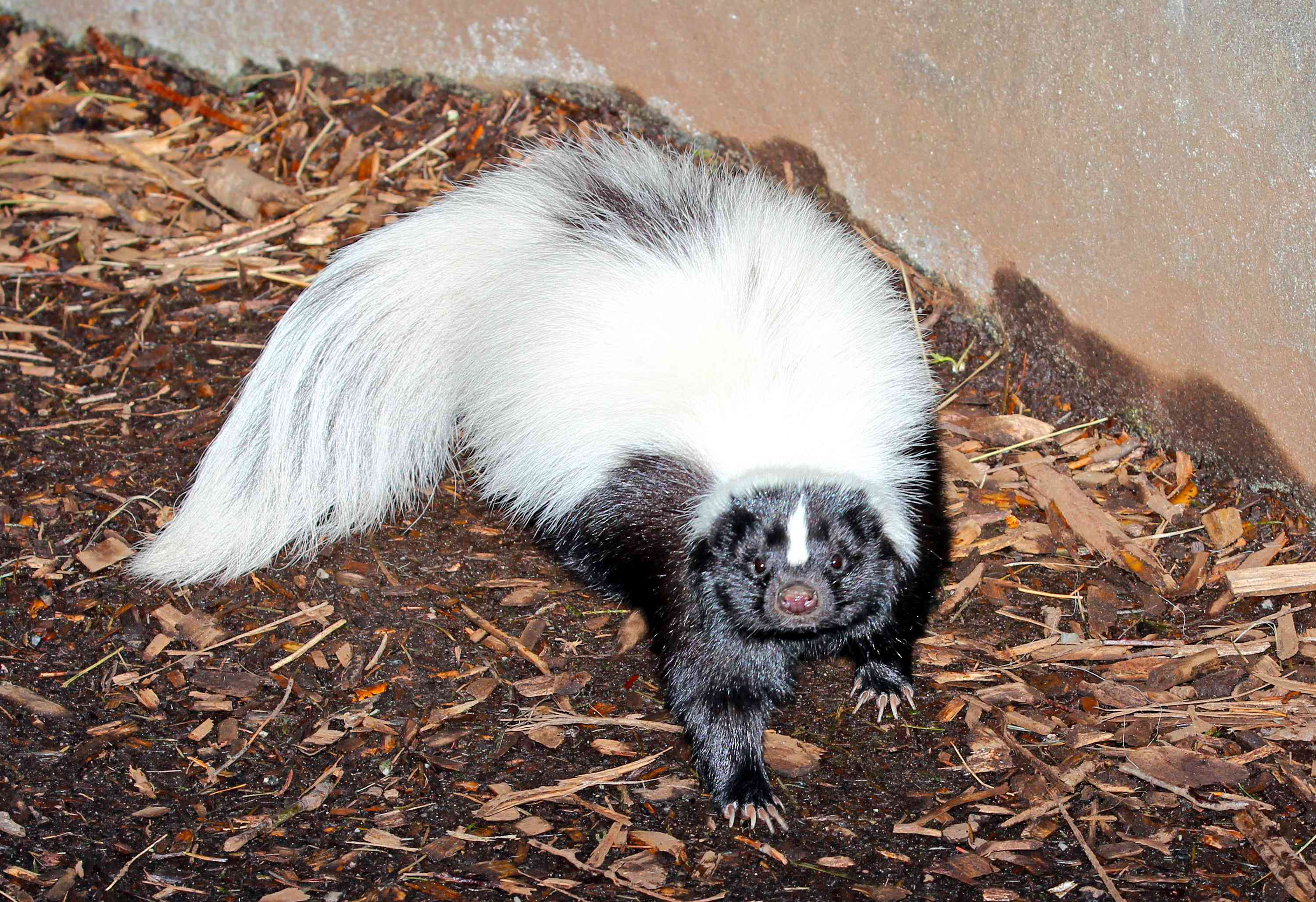 american hog-nosed skunk looks directly into camera with flash