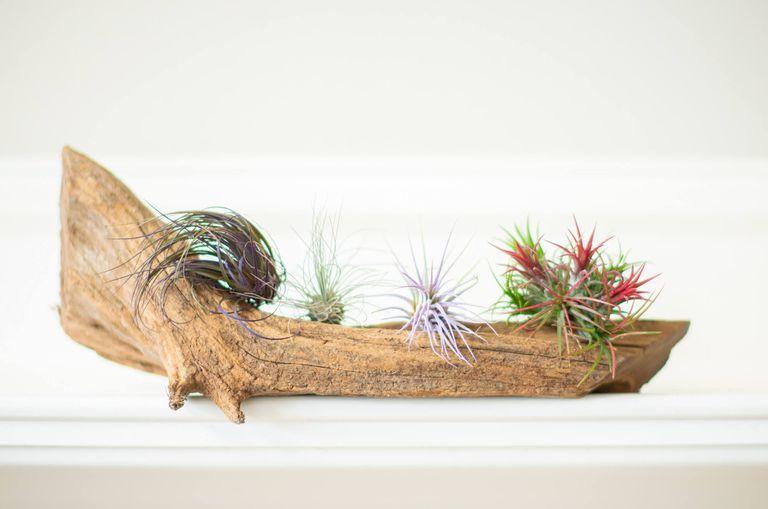 four varieties of air plants grow on log/driftwood on white shelf