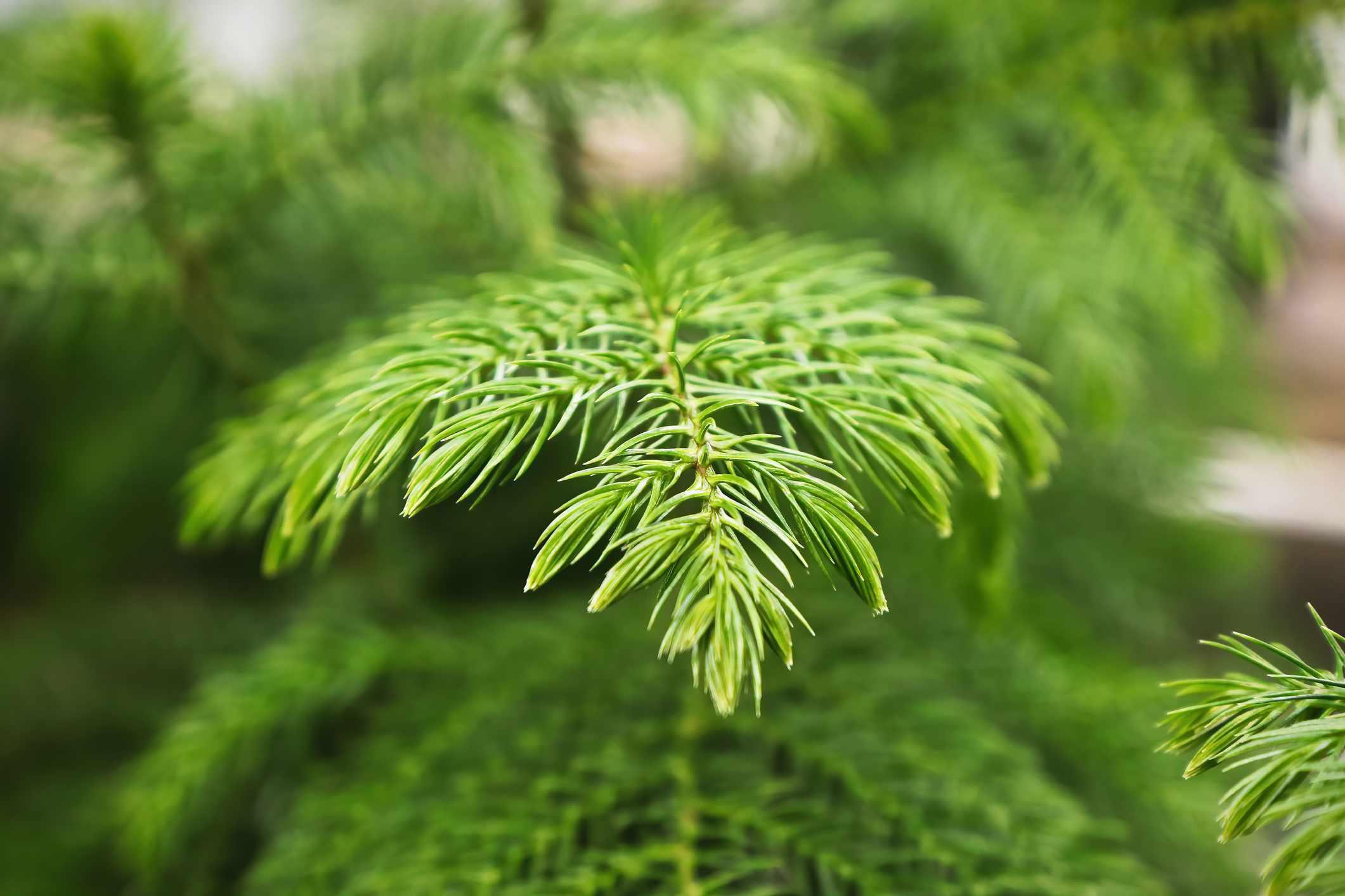 Detailed shot of Norfolk Island Pine needles.