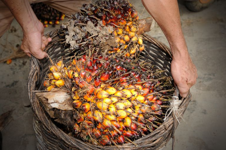 Close up of fresh oil palm fruits