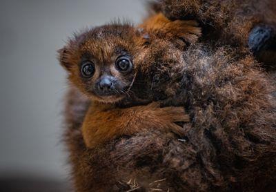 baby red-bellied lemur