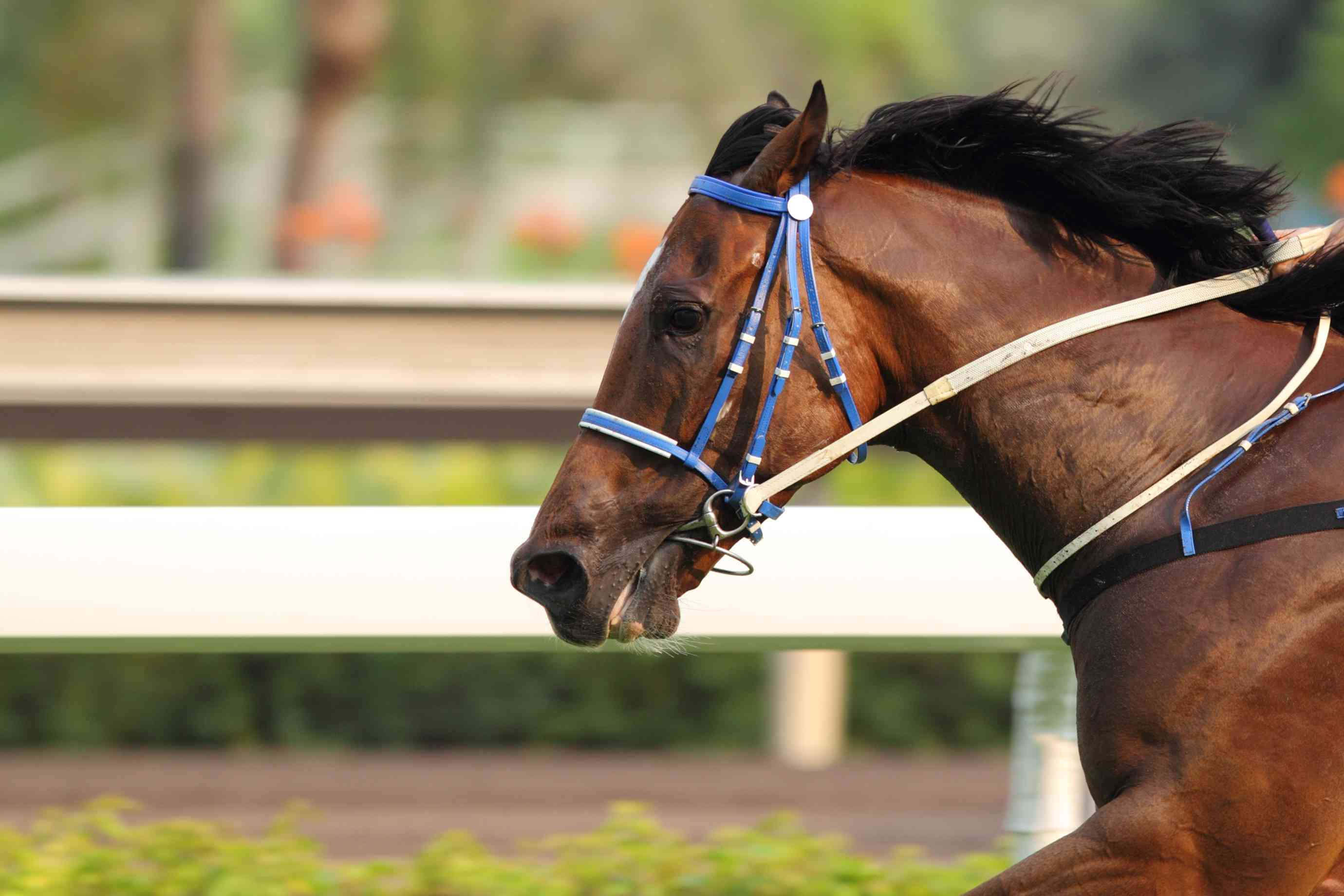 Quarter horse running on a track