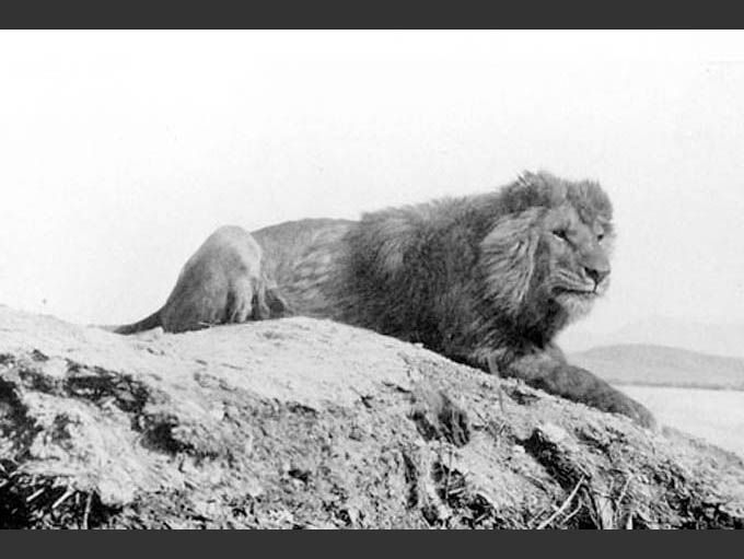 A Barbary lion laying down on top of a mountain in Nigeria
