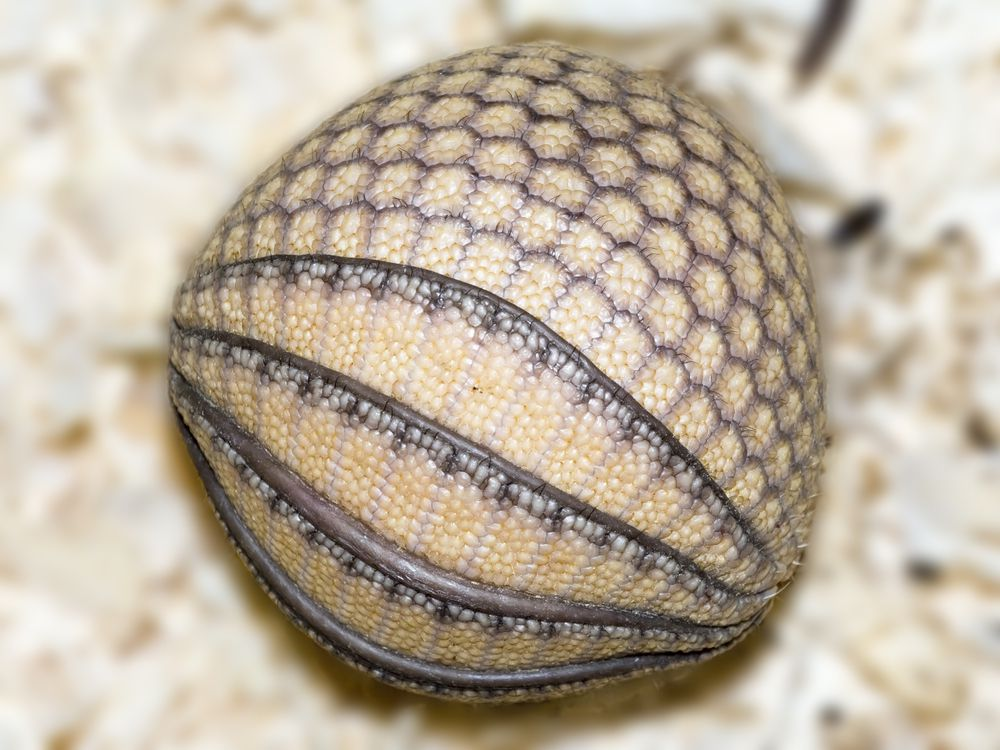 Three-banded armadillo curled into ball
