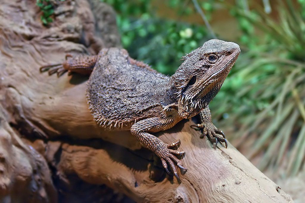An Eastern bearded dragon stretched out on a fallen tree with its head upright.