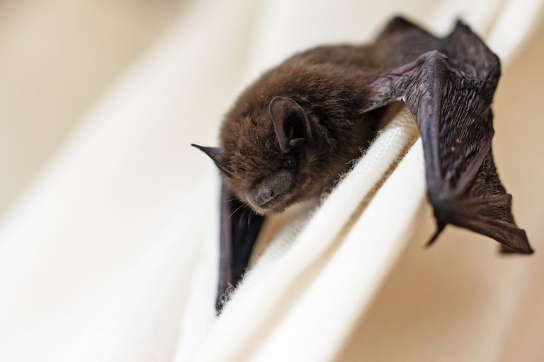 Close up of a bat clinging to curtains