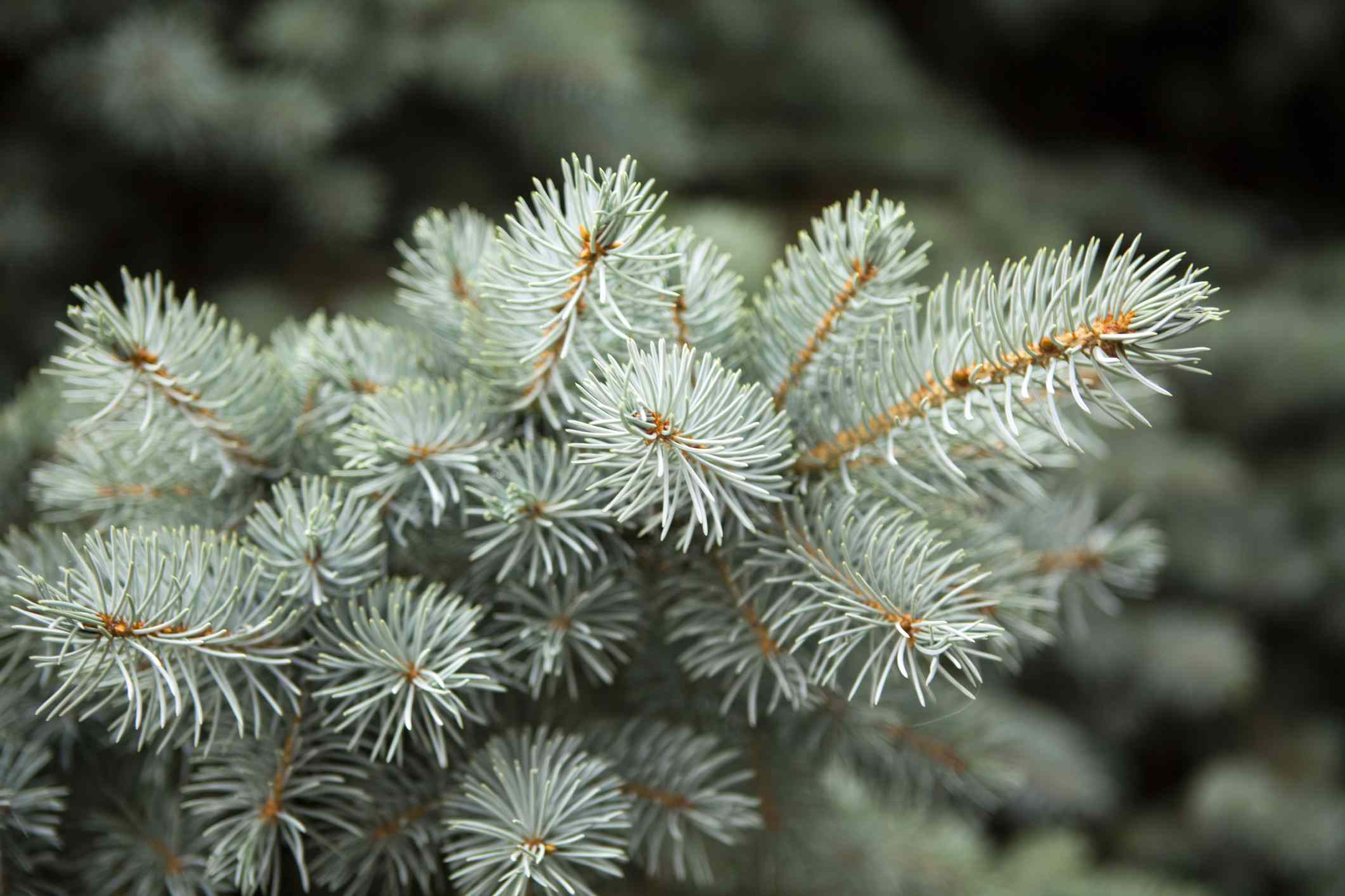 Detailed shot of white fir tree.