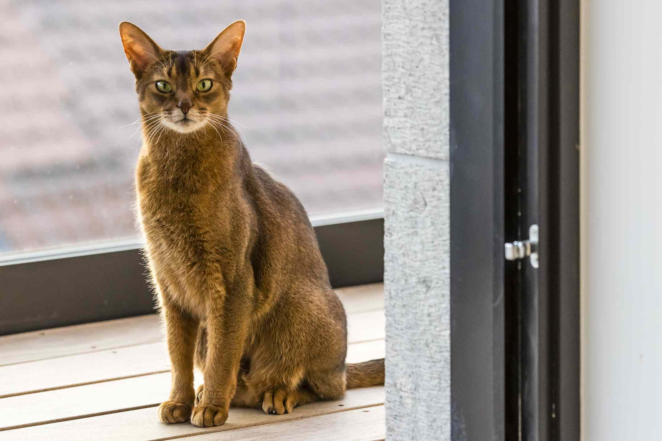 Abyssinian cat sitting on a terrace looking through the open door