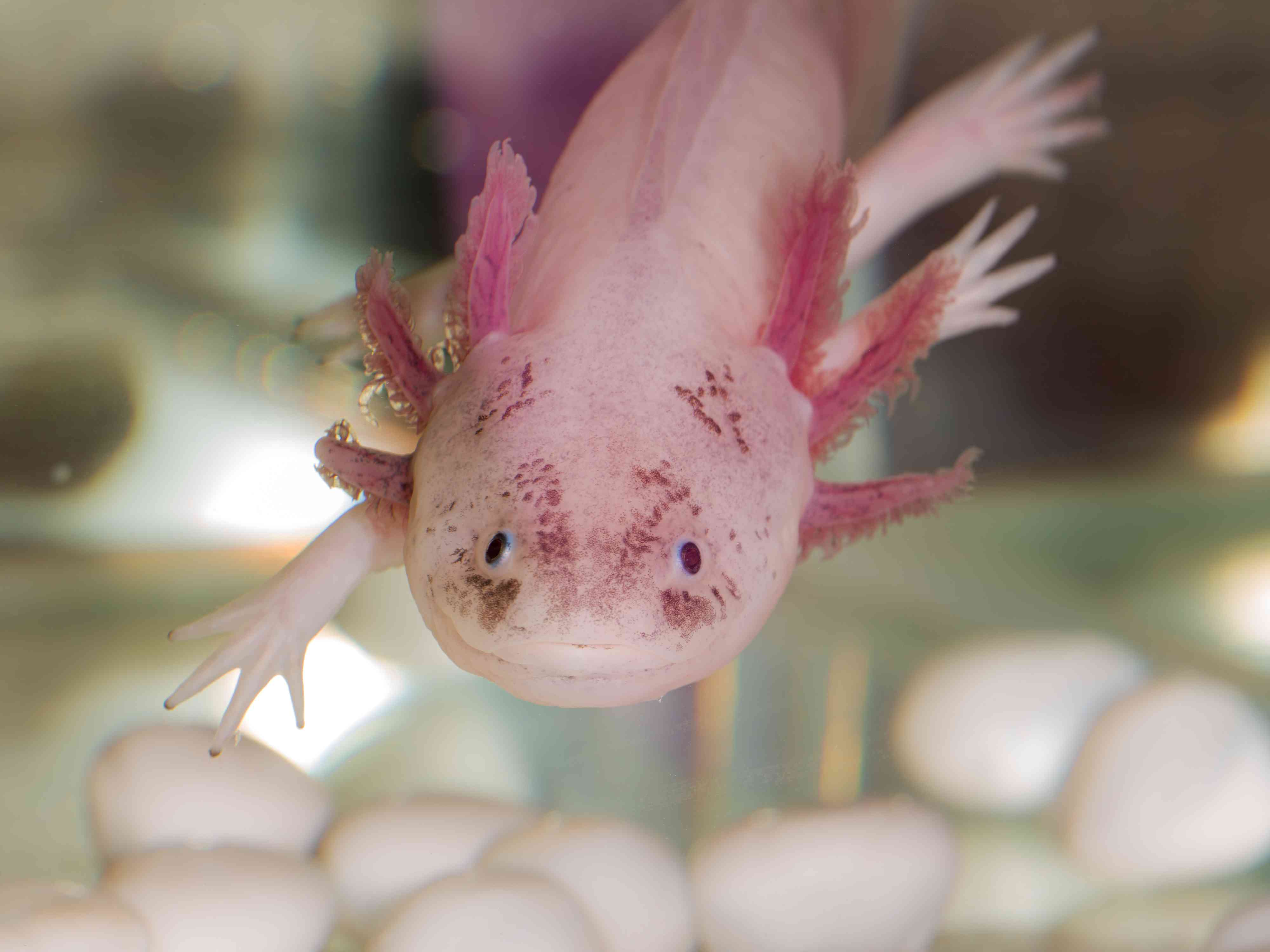 Portrait of an axolotl