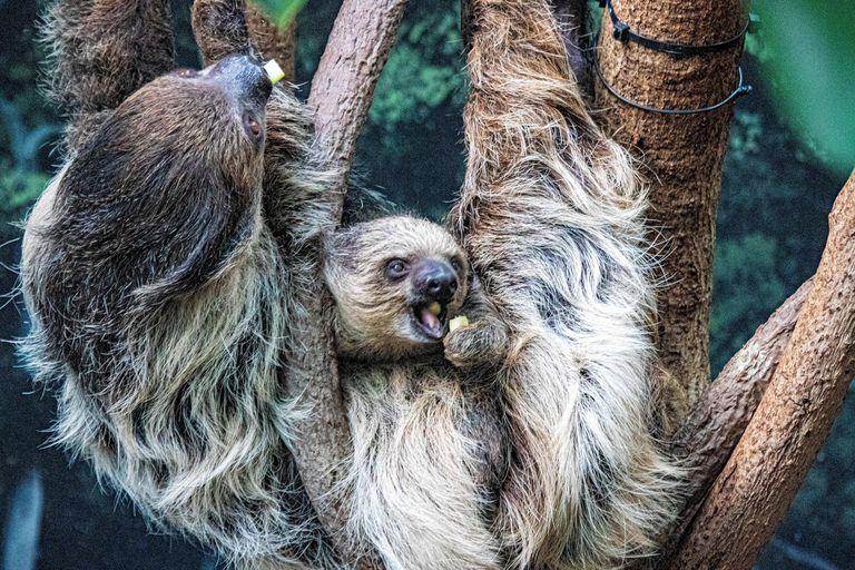 sloths at Denver Zoo