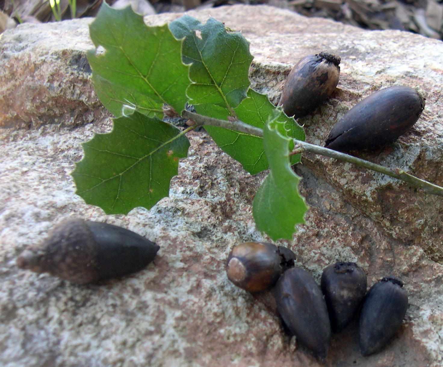 california live oak leaves and acorns