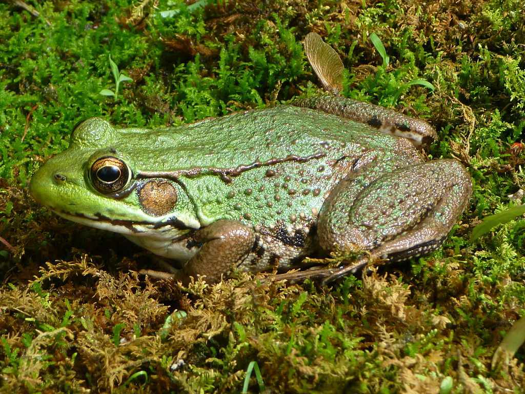 A green frog sitting on a bed of green and brown moss.