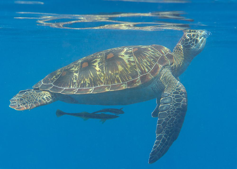 Green sea turtle (Chelonia mydas) swims to the surface to breath air with remora fish.