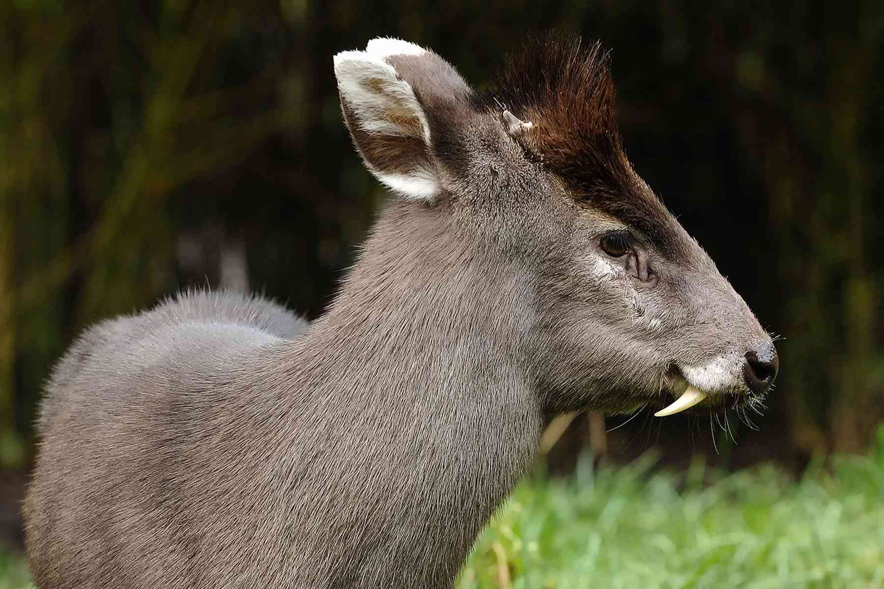 male tufted deer with small horns and and protruding fangs