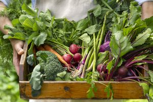 Basket of just picked vegetables at organic farm in Gardener's hands