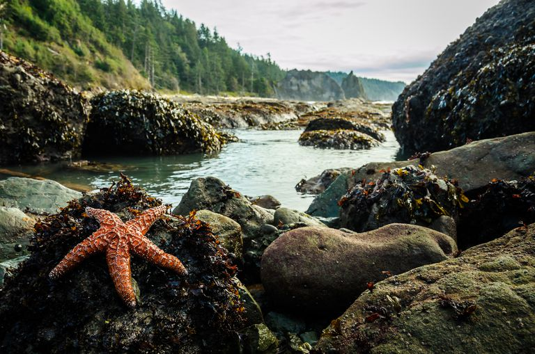 Sea star on a rock, tide pool in the background at Rialto Beach