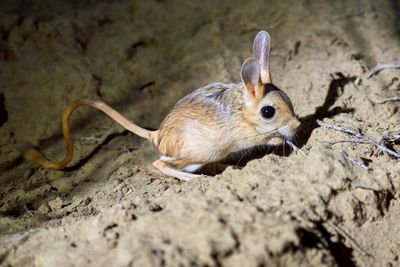 Jerboa / Jaculus Small mouse like animal with long ears and tail standing on oversized rear feet.The jerboa are a steppe animal and lead a nocturnal life