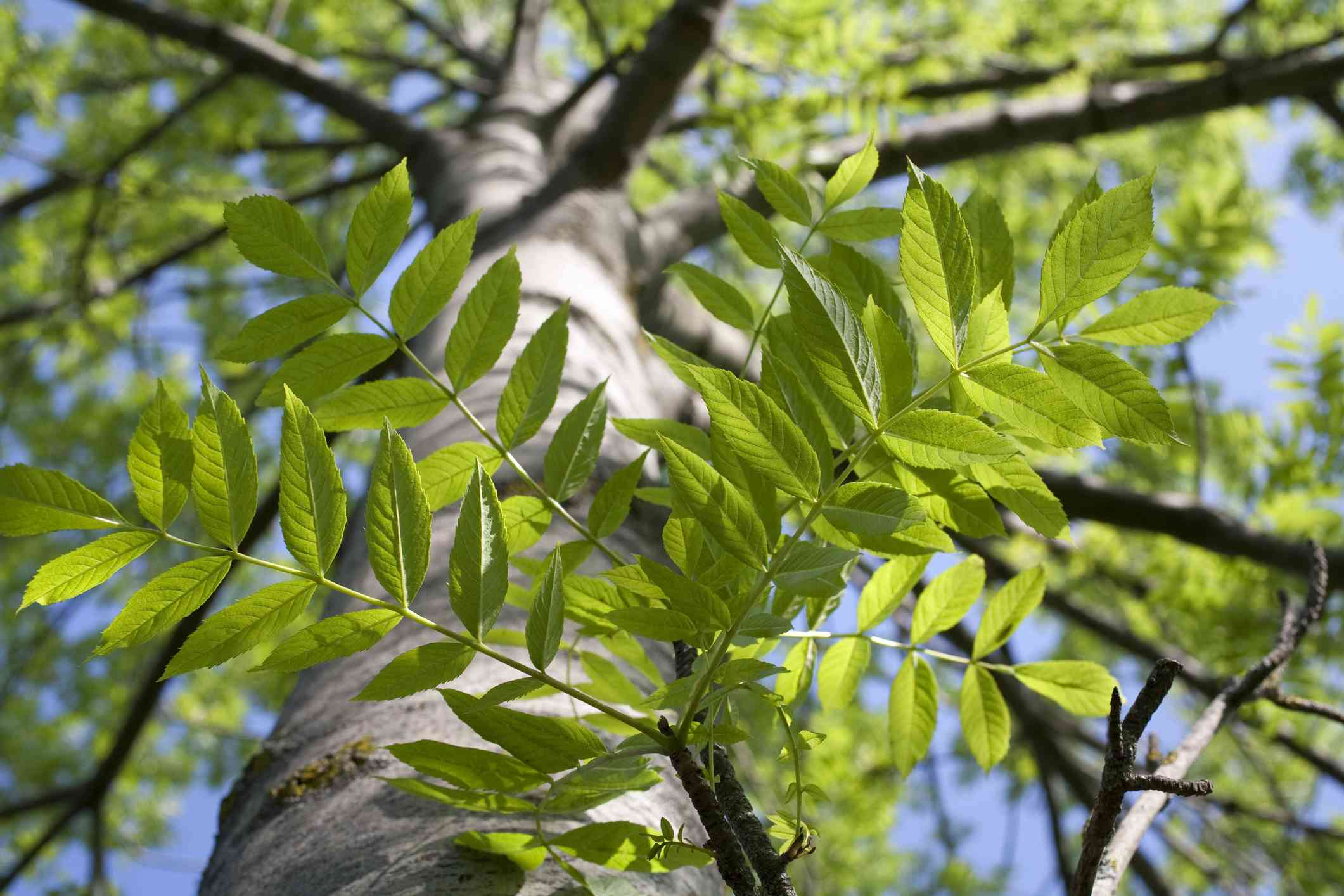 Compound leaves on an Ash tree.