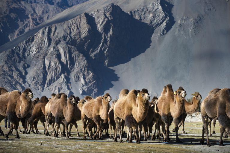 Herd of Bactrian camels walking past a mountain
