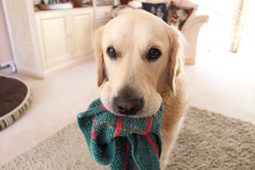 dog stealing a dishcloth