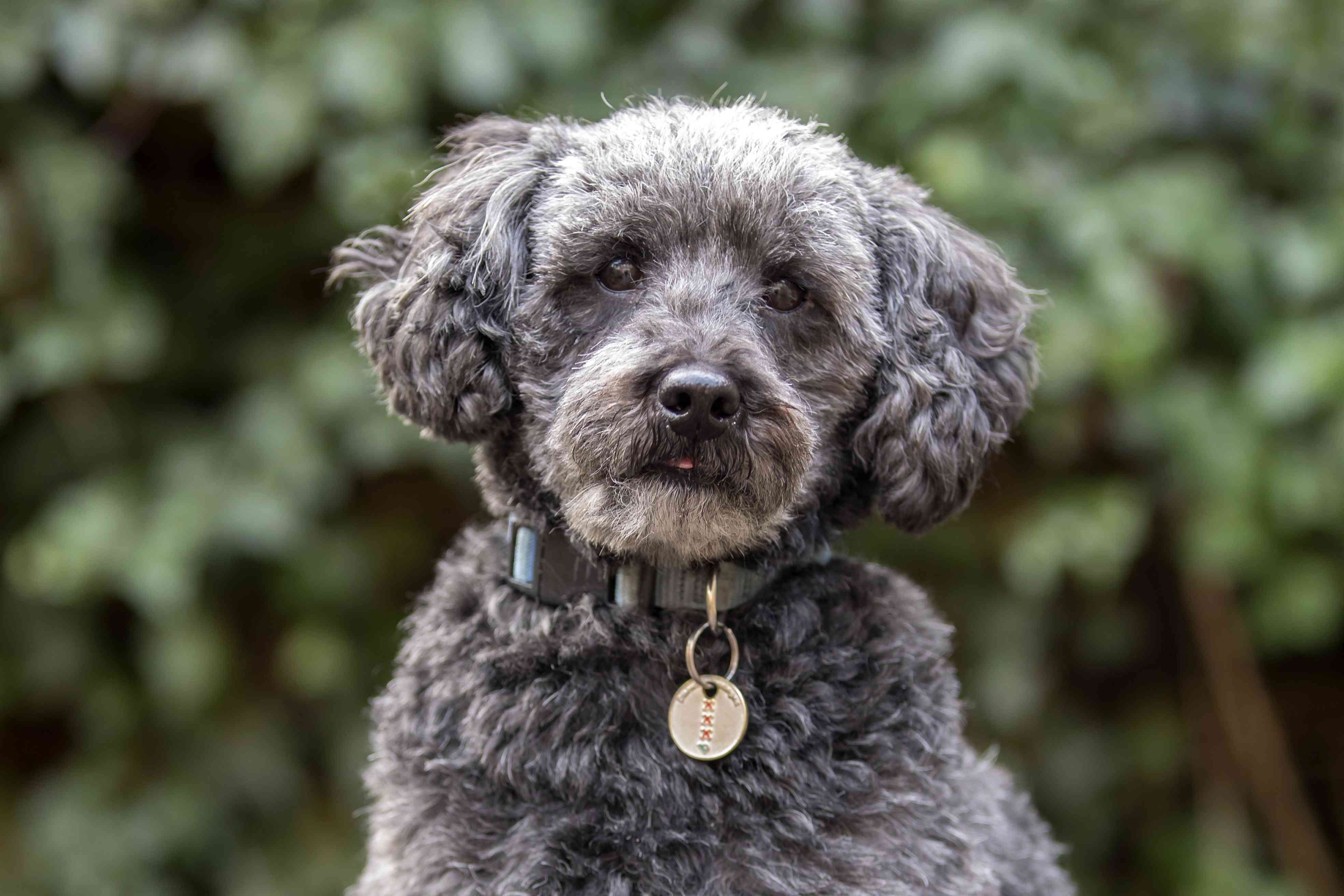 Close-up of grey schnoodle in the park