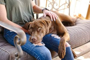 chocolate lab rests head on woman's lap on outside chair